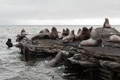 Steller Sea Lion rookery — Stock Photo
