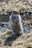 Cute ground squirrel standing on hind legs — Stock Photo