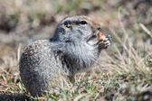 Ground squirrel — Stock Photo