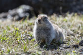 Cute ground squirrel — Stock Photo
