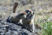 Two cute ground squirrel — Stock Photo