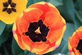 Tulips in Blooming. Closeup wiev of motley tulip flower. — Stock Photo