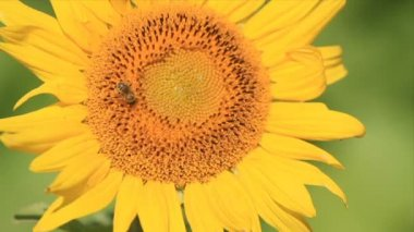 Sunflower in the sunflower field with bee — Vídeo Stock