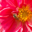 Honey bee pollinating a flower — Stock Photo