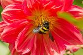Skalbagge som pollinerar en blomma — Stockfoto
