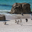 Africpenguins — Stock Photo #14368667