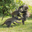 Monkeys fighting — Stock Photo #18306165