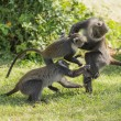 Monkeys fighting — Stock Photo