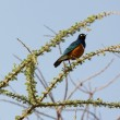 Stock Photo: Superb Starling
