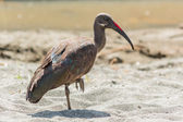 Wattled Ibis — Stock Photo