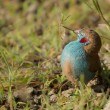 Red-cheeked Cordon-bleu — Stock Photo