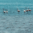 Stock Photo: Wading flamingos
