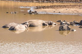 Mudding hippos — Stock Photo