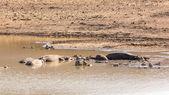 Mudding hipopótamos — Fotografia Stock