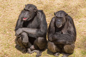 Three wise chimps — Stock Photo