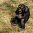 Chimp communication — Stock Photo