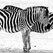 Zebras — Stock Photo #32739409