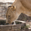 Lioness drinking water — Stock Photo