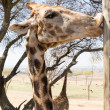 Giraffe kissing a pole — Stock Photo