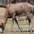 Stock Photo: Blesbok