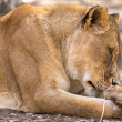 Sleepy Lioness — Stock Photo