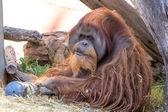 The old orangutan — Stock Photo