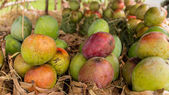 Mangos at a local fruit stand — ストック写真