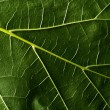 Foto Stock: Green leaf