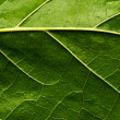 Foto de Stock  : Green leaf
