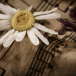 Old music notes with dry daisy — Stock Photo #27148331