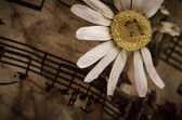 Old music notes with dry daisy — Stock Photo
