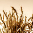 Stock Photo: Ears of wheat