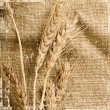 Few ears of wheat — Stock Photo