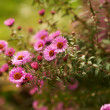 Stock Photo: Aster flowers