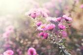 Flores de Aster — Fotografia Stock