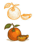 Illustrations of tangerine — Stock Vector