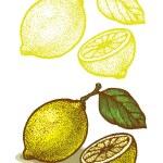 Lemon — Stock Vector #40425117