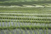 Rice Filed — ストック写真