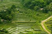Rice paddies — Stock Photo