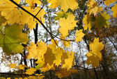 Branch with maple leaves — Stock Photo