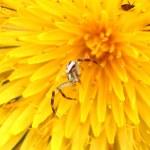 Macro spider on a dandelion — Stock Photo #31573653