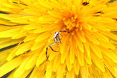 Macro spider on a dandelion — Stock Photo