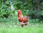 Beautiful cock — Stock Photo