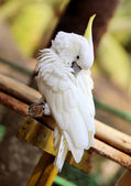 Portrait of a white cockatoo  — Stock Photo