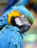 Portrait of a blue macaw  — Stock Photo