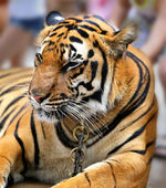 Beautiful portrait of a tiger  — Stock fotografie