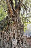 Beautiful tree with Buddhas head — Stock Photo