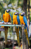 Bright blue parrots macaw — Stock Photo