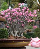 Flowering bonsai Tree — Stock Photo