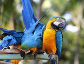 Bright blue macaws — Stock Photo